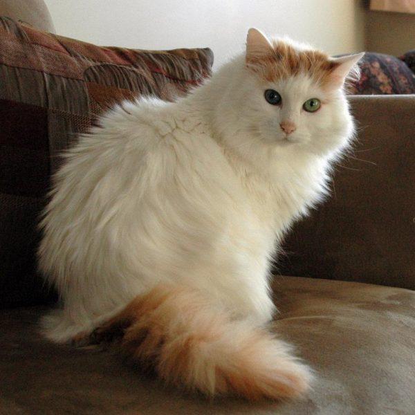 пушистая беспородная бело-рыжая кошка