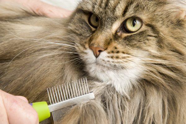 пушистый полосатый кот, которого расчёсывают