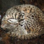 Пятнистая африканская кошка в логове