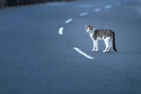 Пятнистая кошка посреди дороги