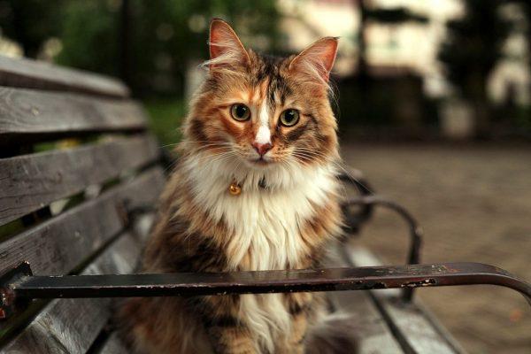 пятнистая норвежская кошка на скамье