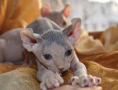 пятнистый котёнок породы эльф
