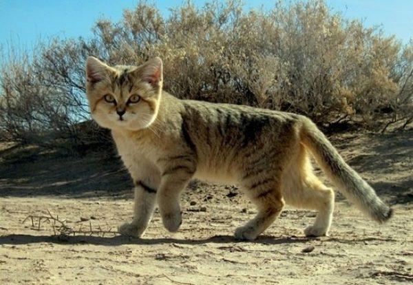 барханный кот идёт по песку