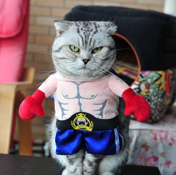 серый кот в костюме боксёра