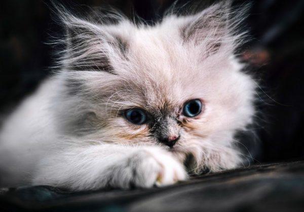 гималайский котёнок с серым носиком