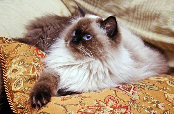 гималайская кошка на гобеленовой подушке