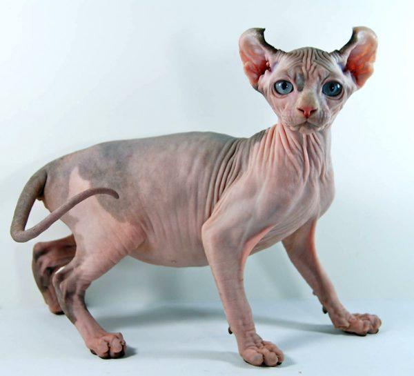 синеглазая кошка эльф с серыми пятнами на спине