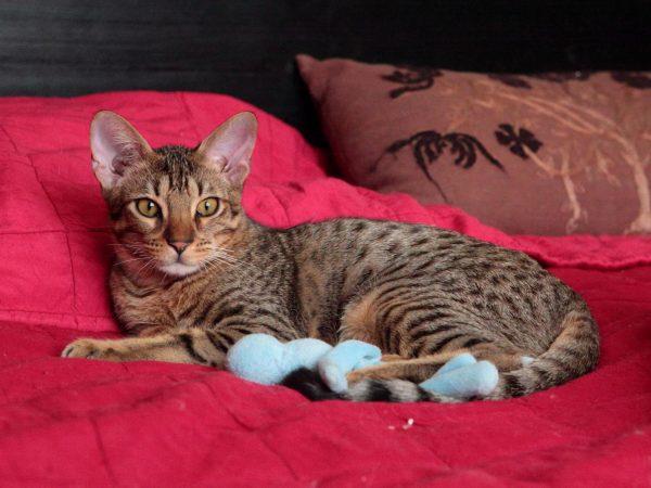 оцикет лежит на ярко-красном одеяле с игрушкой
