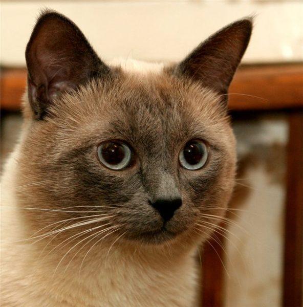Тайская кошка с тёмной мордочкой и кисточками на ушах