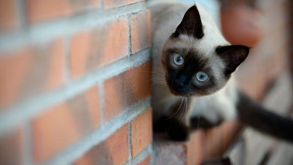 Тайская кошка выглядывает из-за угла