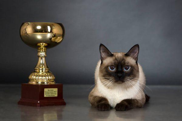 Тайский кот с кубком на тёмно-сером фоне