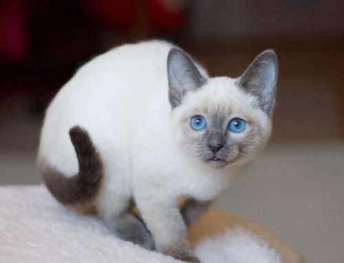 Тайская кошка на белом пушистом покрывале