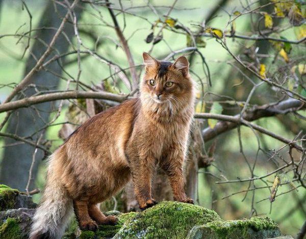 Сомалийская кошка на обросших мхом камнях