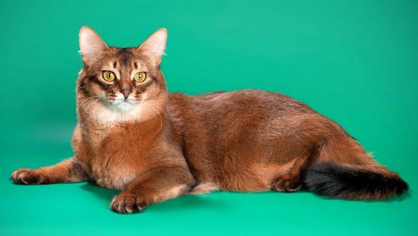 Сомалийская кошка с жёлтыми глазами на зелёном фоне
