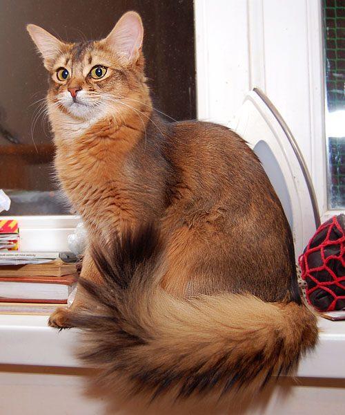 Сомалийская кошка сидит на подоконнике рядом с книгами и утюгом