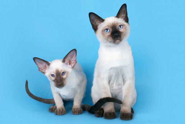 Сиамский и тайский котята