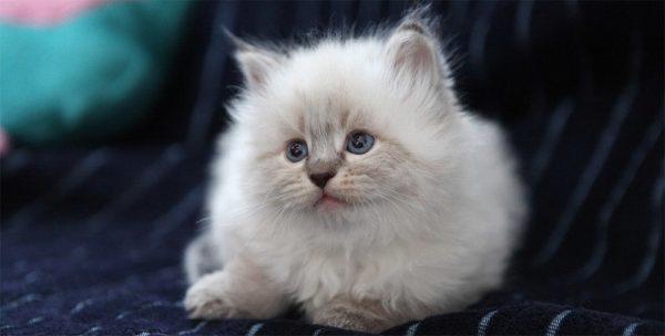 Невский маскарадный котик с синими глазами на тёмном покрывале