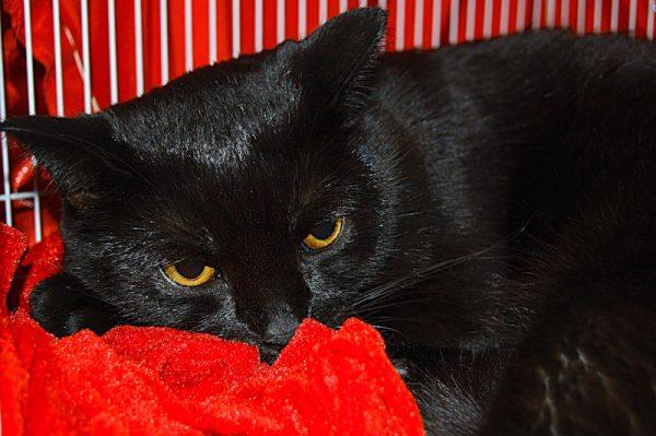 Бомбейский кот на ярко-красном покрывале