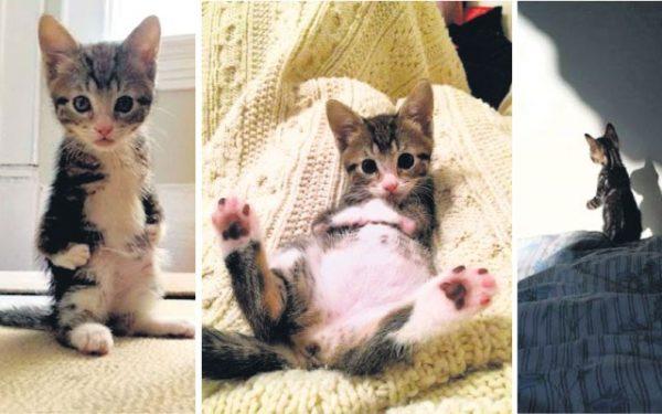 Радиальная гипоплазия у котёнка