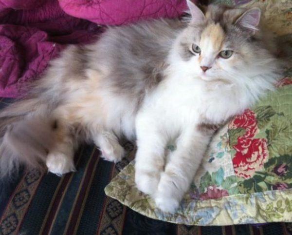 Рагамаффин серо-белого окраса лежит на подушке