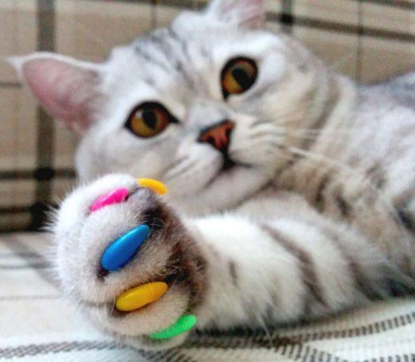разноцветные антицарапки на когтях серой кошки