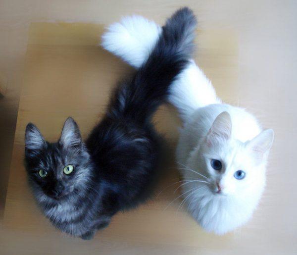 Разноцветные кошки ангорской породы