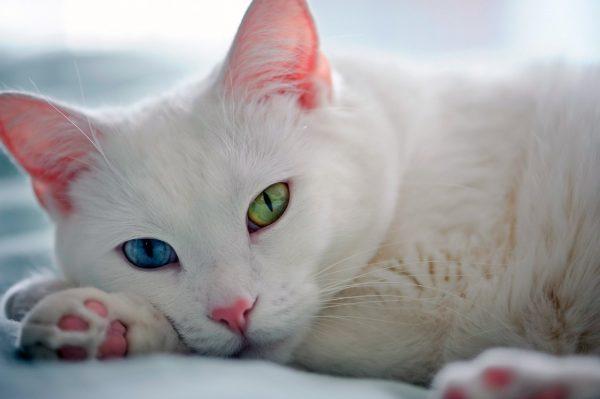 разноглазая кошка као мани