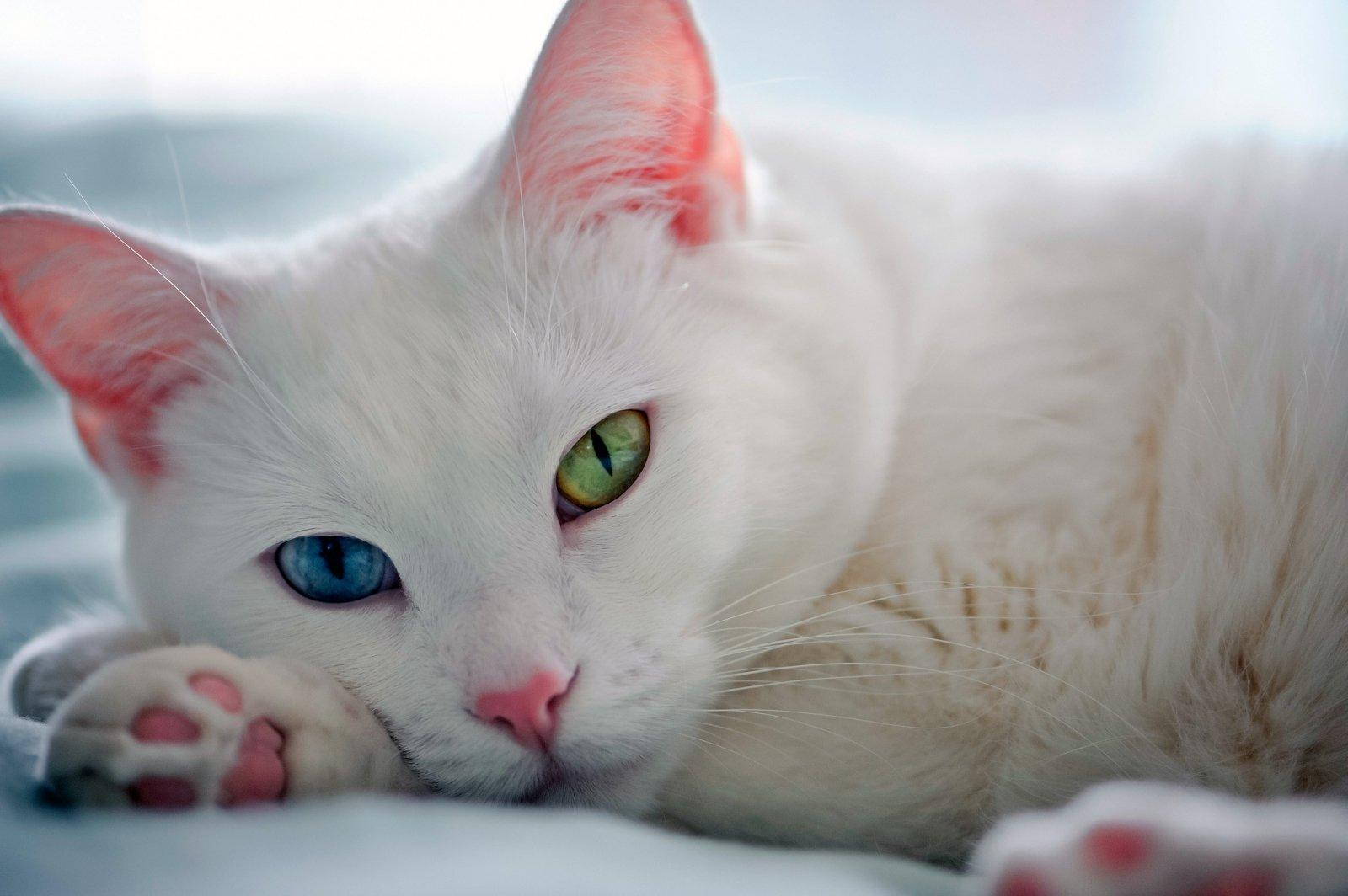 делаем выпускные фото разноглазой кошки тату должно