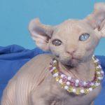 разноглазая кошка породы эльф