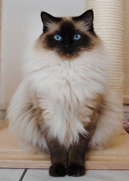 Кот породы регдолл сидит на коврике