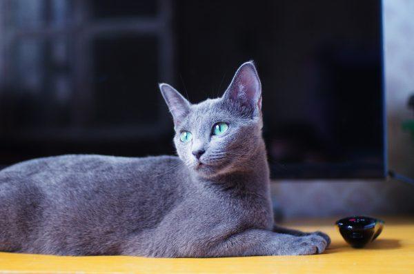 Русская голубая кошка лежит на полу