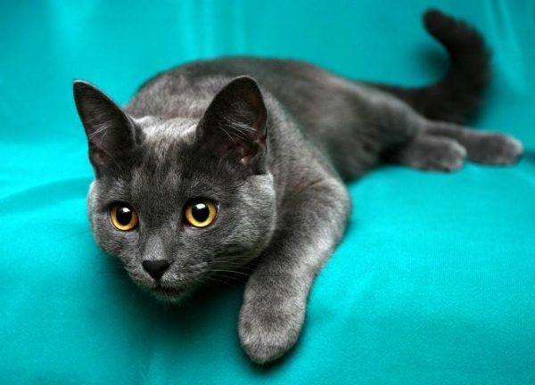 русская голубая кошка на бирюзовой простыни