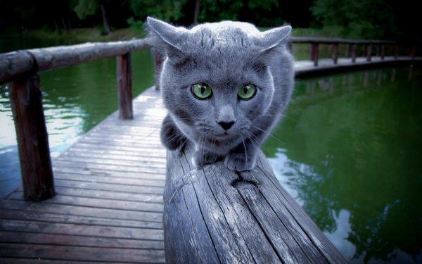 русская голубая кошка на бревне