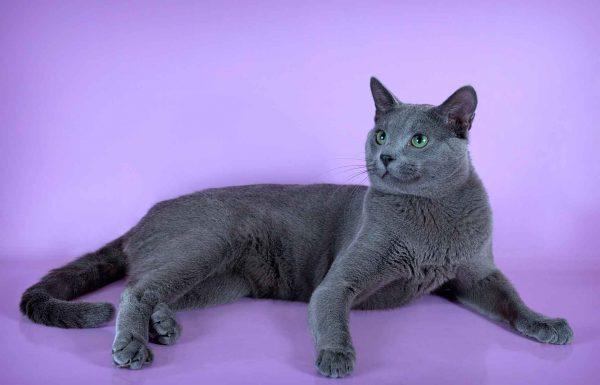 русская голубая кошка на сиреневом фоне