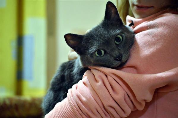 русская голубая кошка по кличке Даша