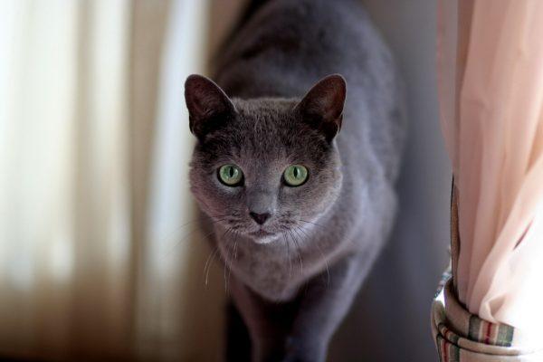 русская голубая кошка рядом с занавеской