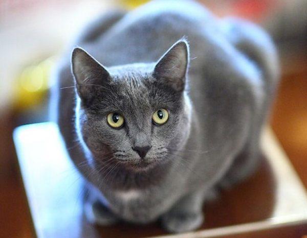 русская голубая кошка с белым «нагрудником»