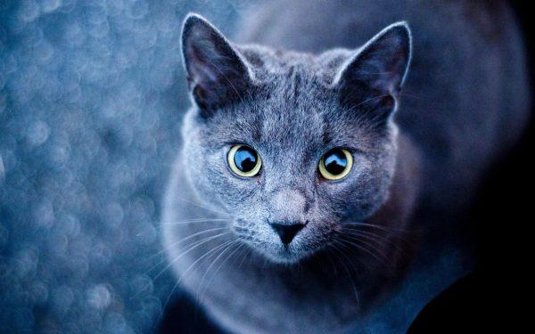 русская голубая кошка с большими круглыми глазами