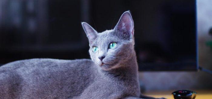 русская голубая кошка с чёрной мисочкой