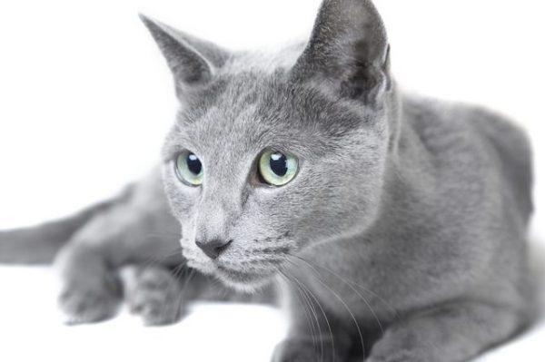 русская голубая кошка смотрит в сторону