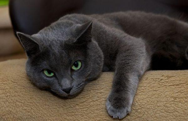 русский голубой кот на диване