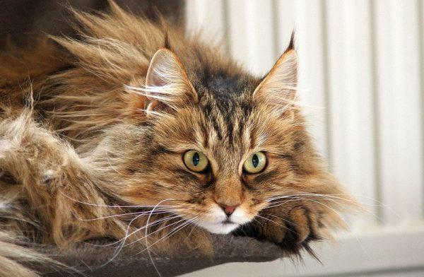 рыжая норвежская кошка с лохматым хвостом