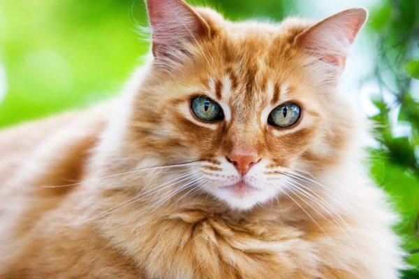 рыжая норвежская кошка с зеркальными глазами