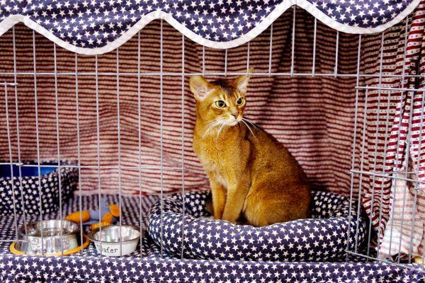 Рыжая ориентальная кошка в клетке