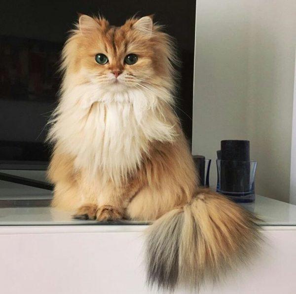 Рыжая пушистая кошка с белой грудкой