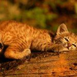 Котёнок рыжей рыси