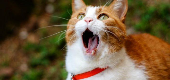 Рыже-белый кот стоит, открыв рот