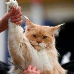 Рыжему коту с поднятой лапой ножницами стригут шерсть в подмышах