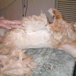Рыжий кот лежит на спине в процессе стрижки боков