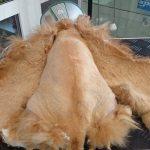 Рыжий кот со спины с состриженной шерстью